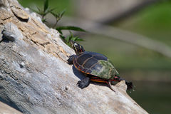 在树枝3的被绘的乌龟 免版税库存照片