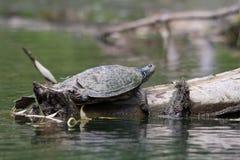 在树枝2的被绘的乌龟 免版税库存图片