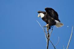 在树栖息的一只白头鹰的外形 免版税库存图片
