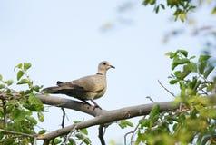 在树栖息的一只美丽的鸠 库存照片