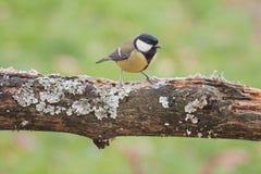 在树栖息的伟大的山雀 免版税库存图片