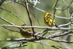在树栖息的双重黄色鸟 免版税库存照片