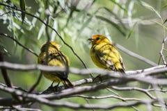 在树栖息的双重黄色鸟 免版税库存图片