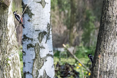 在树栖息的哼唱着鸟 图库摄影