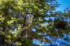 在树栖息的小灰色杰伊 图库摄影