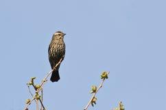 在树栖息的母美洲红翼鸫 免版税库存图片