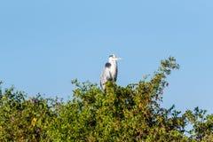 在树栖息的灰色苍鹭 免版税库存照片
