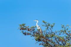 在树栖息的灰色苍鹭 免版税库存图片