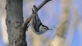在树栖息的白的breasted五子雀 免版税库存照片