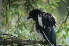 在树栖息的美丽的黑鸟 免版税库存图片