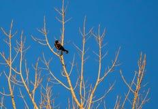 在树栖息的美洲红翼鸫 免版税库存图片
