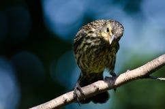 在树栖息的美洲红翼鸫 库存照片