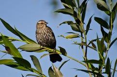 在树栖息的美洲红翼鸫 免版税库存照片