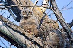 在树栖息的逗人喜爱的幼小猫头鹰之子 免版税库存图片