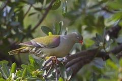 在树栖息的非洲绿色鸽子 免版税库存照片