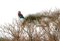 在树栖息的高度淡紫色Breasted路辗 库存图片