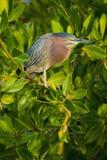 在树栖息的绿色苍鹭 库存图片
