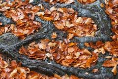 在树根之间的秋叶 免版税图库摄影