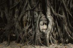 在树根的老菩萨头在阿尤特拉利夫雷斯泰国 免版税图库摄影