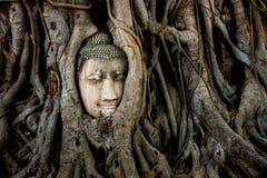 在树根的菩萨头在Mahathat寺庙,历史阿尤特拉利夫雷斯 库存图片