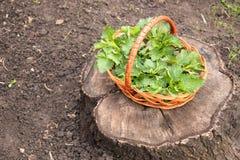 在树桩是与荨麻绿色叶子的一个篮子  免版税库存照片