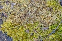 在树桩杉木和云杉的针的绿色青苔分支叶子 库存照片