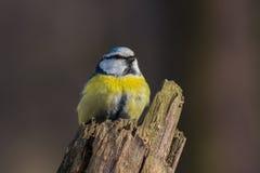 在树桩栖息的欧亚蓝冠山雀 免版税库存照片