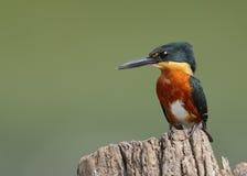 在树桩栖息的美国矮小翠鸟-巴拿马 库存照片