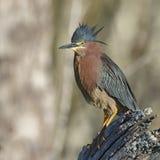 在树桩栖息的绿色苍鹭-佛罗里达 免版税库存照片