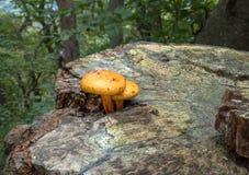 在树桩的两个小黄色蘑菇 免版税库存图片