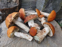 在树桩的亚斯本蘑菇 库存照片