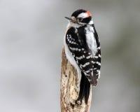 在树桩的公柔软的啄木鸟 库存图片