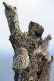 在树桩的小猫头鹰 免版税库存照片