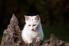 在树桩的小白色猫 免版税库存照片