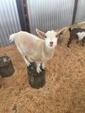 在树桩的山羊 免版税图库摄影
