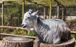 在树桩的山羊 免版税库存照片