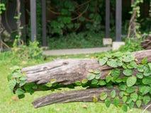 在树桩的常春藤在公园 免版税库存图片