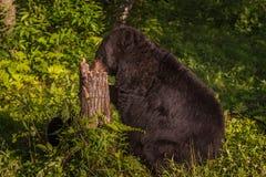 在树桩的成年女性黑熊熊属类美洲的鼻子 库存图片
