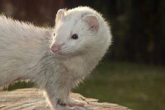 在树桩的白鼬 免版税库存图片