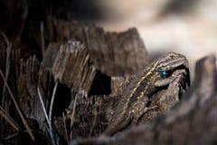 在树桩的篱芭蜥蜴 免版税库存照片