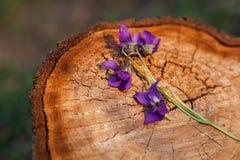 在树桩的紫罗兰 中提琴花宏观细节  图库摄影