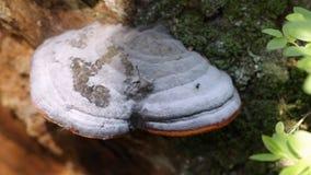 在树桩的蘑菇 影视素材