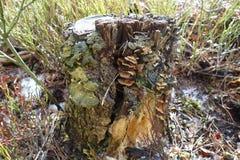 在树桩的蘑菇 免版税库存照片