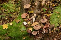 在树桩的蘑菇 库存照片