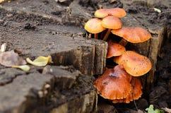在树桩的蜜环菌 库存图片