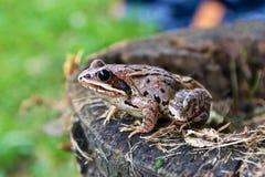 在树桩的边缘的青蛙 库存照片