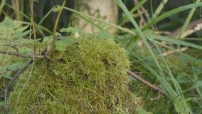 在树桩的青苔在与青苔的森林老木材在森林树桩绿色青苔枞松针叶树森林里 免版税库存照片
