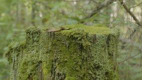 在树桩的青苔在与青苔的森林老木材在森林树桩绿色青苔枞松针叶树森林里 图库摄影