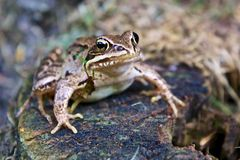 在树桩的青蛙 免版税库存图片