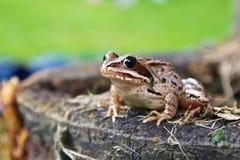在树桩的青蛙 免版税库存照片